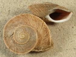 Iberus gualterianus ES 3,9+cm