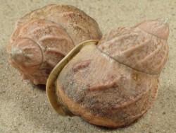 Auris bilabiata melanostoma BR 4,1+cm