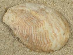 Crepidula maculosa US 4cm *Unikat*