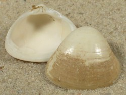 Tivela mactroides BR 2,3cm *Unikat*