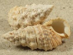 Cerithium echinatum AU 4,3+cm