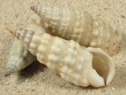 Rhinoclavis bituberculata AU 3+cm