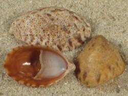 Crepidula porcellana SN 1,7+cm