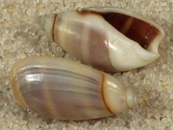 Olivella columellaris CL 1,2+cm