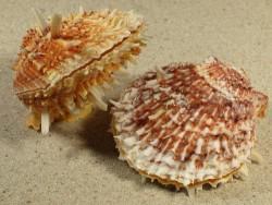 Spondylus variegatus PH 6+cm