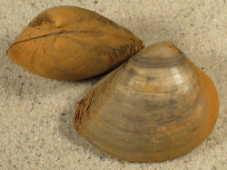 Rangia cuneata NL 3,5+cm