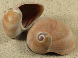 Sinum cymba PE 3,9+cm