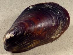 Modiolus modiolus UK-Nordsee 9,7cm *Unikat*