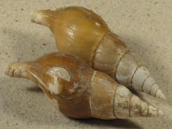 Colus gracilis m/O UK-Nordsee 7+cm