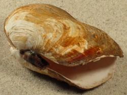 Panomya norvegica DE 7+cm