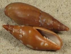Mitra barbadensis BR 2,8+cm