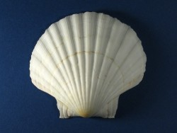 White Pilgrim Shell 1/2 deep 9-11cm