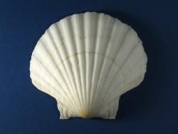 Weiße Pilgermuschel 1/2 tief 9-11cm