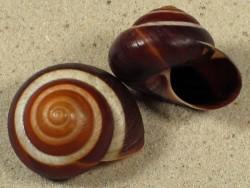 Asperitas inquinata penidae ID 3,4+cm