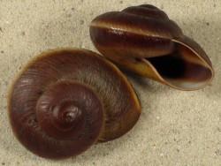 Ryssota oweniana PH 3,8+cm