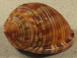 Semicassis granulata undulata m/O ES-Mittelmeer 6+cm