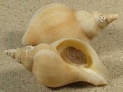 Neptunea antiqua f. alba m/O UK 6+cm