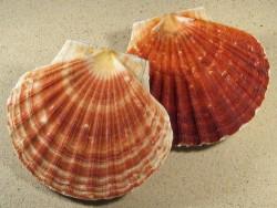 Pilgermuschel Pecten maximus UK 11+cm