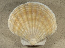 Pecten maximus *light-beige* UK 12,3cm *unique*