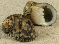 Nerita trifasciata m/O ID 3+cm