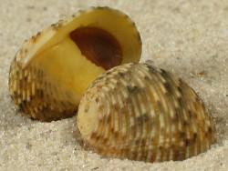 Nerita insculpta m/O ID 1,6+cm
