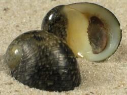 Nerita incerta m/O ID 1,6+cm