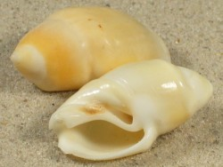 Eburna balteata  AW 3,6+cm