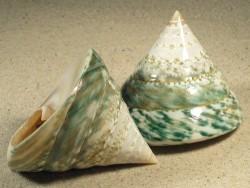 Tectus pyramis poliert 6,5+cm