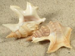 Aporrhais pespelecani GR 3,5+cm