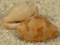 Pseudocypraea adamsonii MZ 0,6+cm