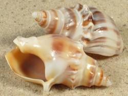 Buccinanops monilifer BR 3,5+cm