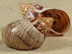 Orthalicus pulchellus BR 4,3+cm