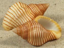 Pollia undosa PG 3,5+cm