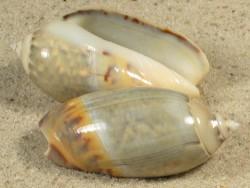 Agaronia gibbosa IN 4,3+cm