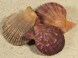 Mimachlamys varia FR-Ärmelkanal 4,5+cm