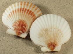 Aequipecten opercularis UK 8+cm