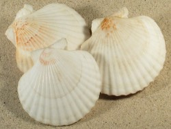 Aequipecten opercularis UK-Keltische-See 6,5+cm