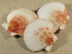 Aequipecten opercularis UK-Nordsee 6,5+cm