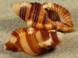 Septa flaveola PH 3,8+cm