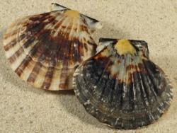 Bractechlamys vexillum *dunkel* PH 4,5+cm