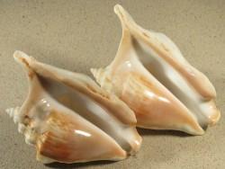 Tricornis tricornis YE 13,5+cm