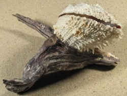 Malleus malleus mit Spondylus variegatus PH 15cm *Unikat*