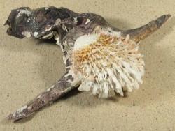 Muschel Spondylus variegatus auf Malleus malleus PH 21cm groß *Unikat*