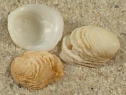 Hipponix leptus BR 1+cm