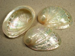 Haliotis laevigata AU nacre 07+cm