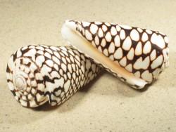 Conus marmoreus 9+cm
