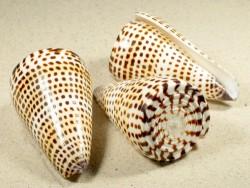 Conus litteratus 8+m