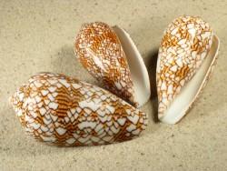 Conus textile 5+cm