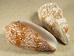 Conus textile 7+cm