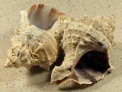 Hexaplex trunculus FR-Mittelmeer 6+cm